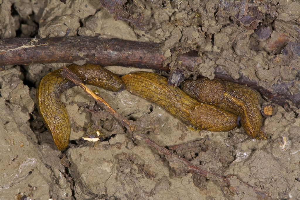 Tandonia budapestensis