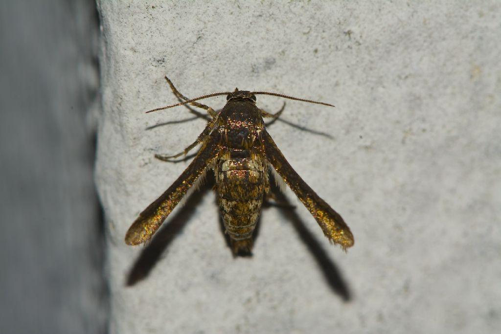brutta farfalla dorata - Microsphecia tineiformis