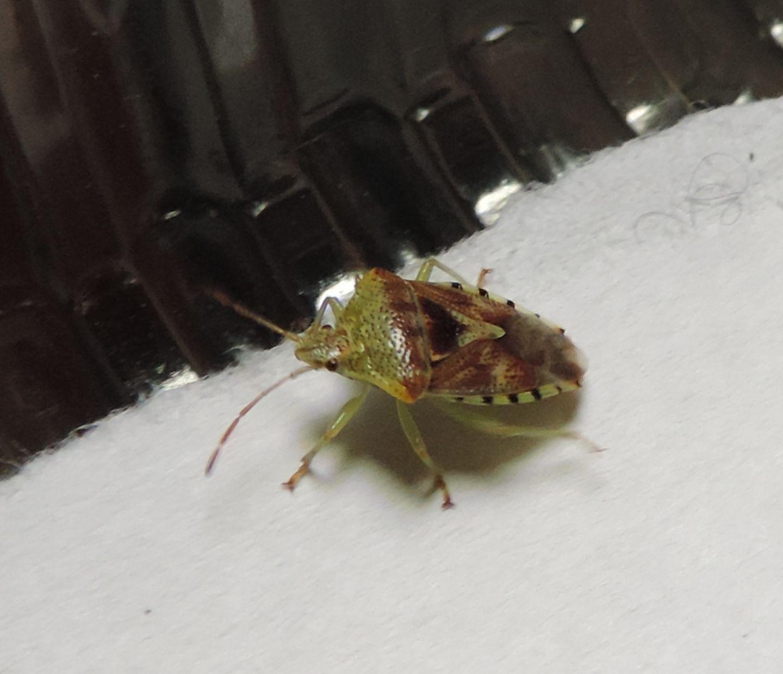 Acanthosomatidae:  Elasmucha grisea