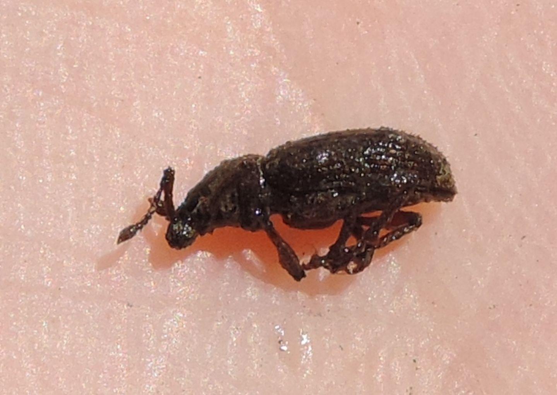 piccolo Otiorhynchus da identificare