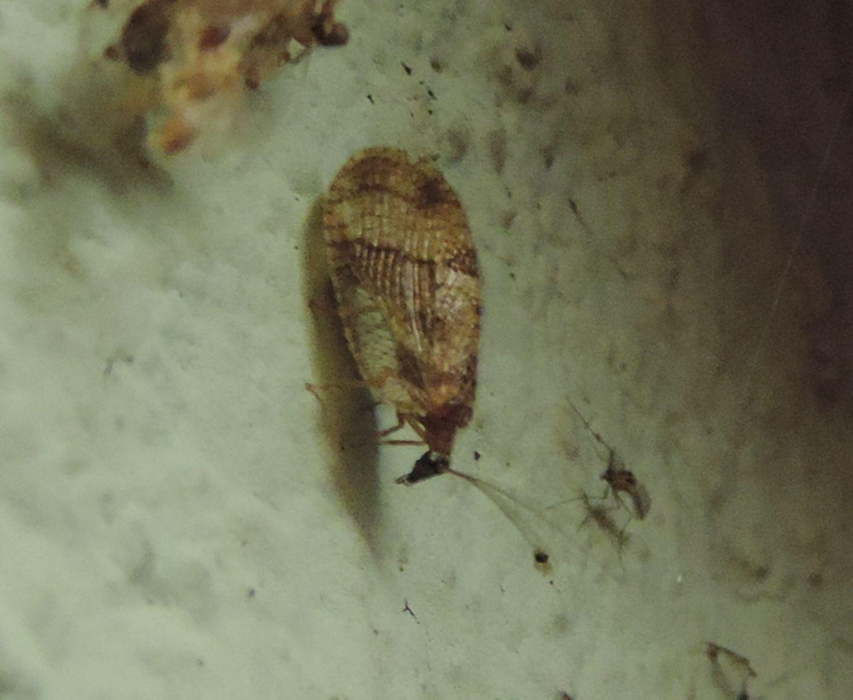 Hemerobiidae: Megalomus cfr. hirtus