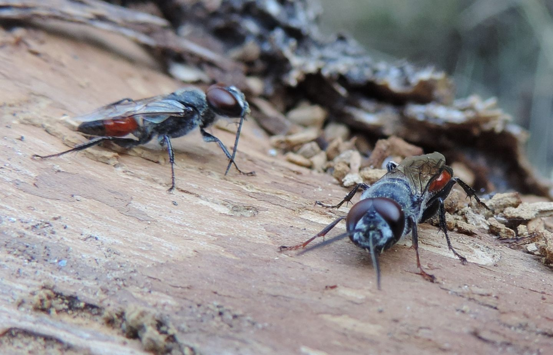 Crabronidae: Astata boops?.... Astata sp., maschi