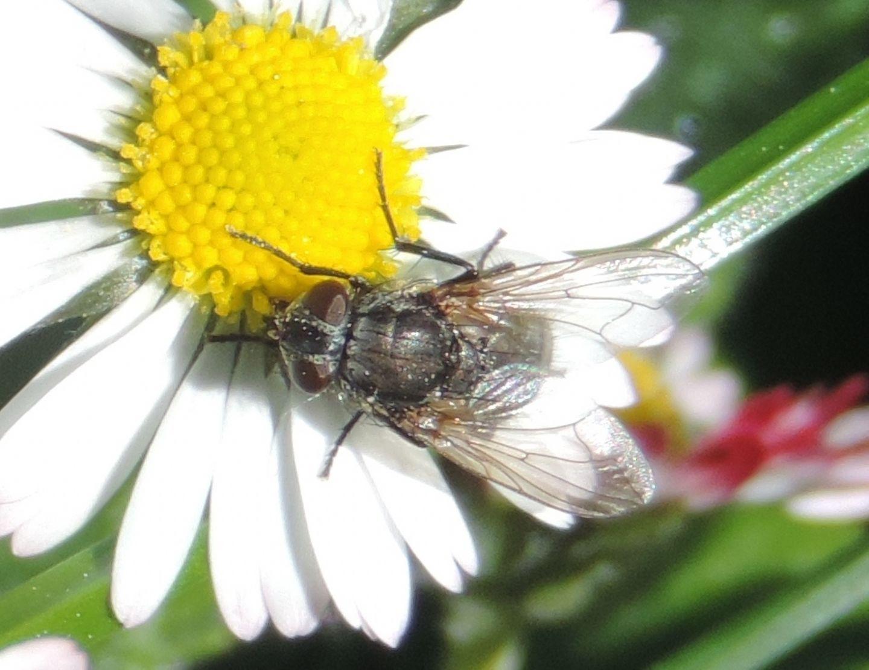 Muscidae?  o  Anthomyiidae?... il dubbio resta.