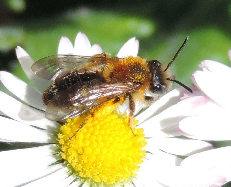 Apidae Andreninae:  Andrena sp.?    Sì !