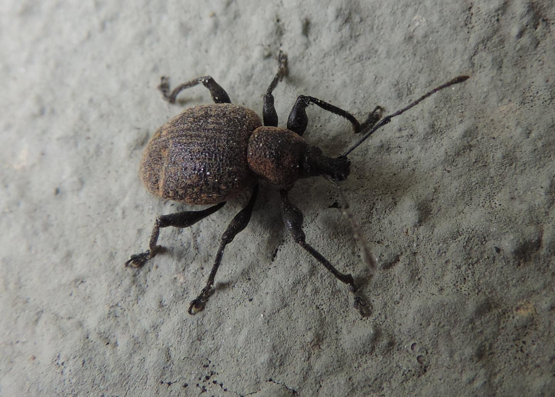 Curculionidae: Otiorhynchus pseudonothus?  Sì !