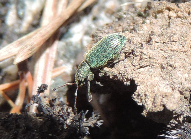 Curculionidae: Polydrusus?  Sì, Polydrusus impar