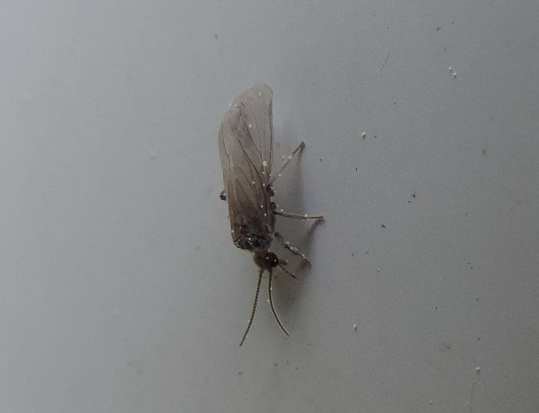strano insetto, forse neurottero?  Sì, Coniopterygidae da det.