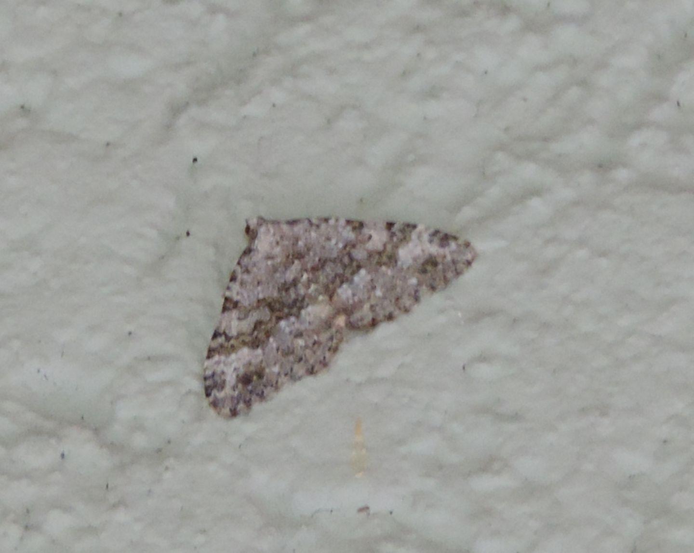 Geometridae da identificare - Coenotephria salicata