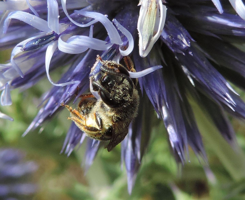 Apidae Halictinae:  Halictus sp. o Lasioglossum sp., femmina