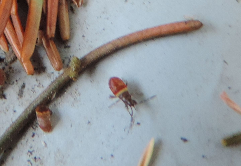 Lygaeidae: Gastrodes sp.