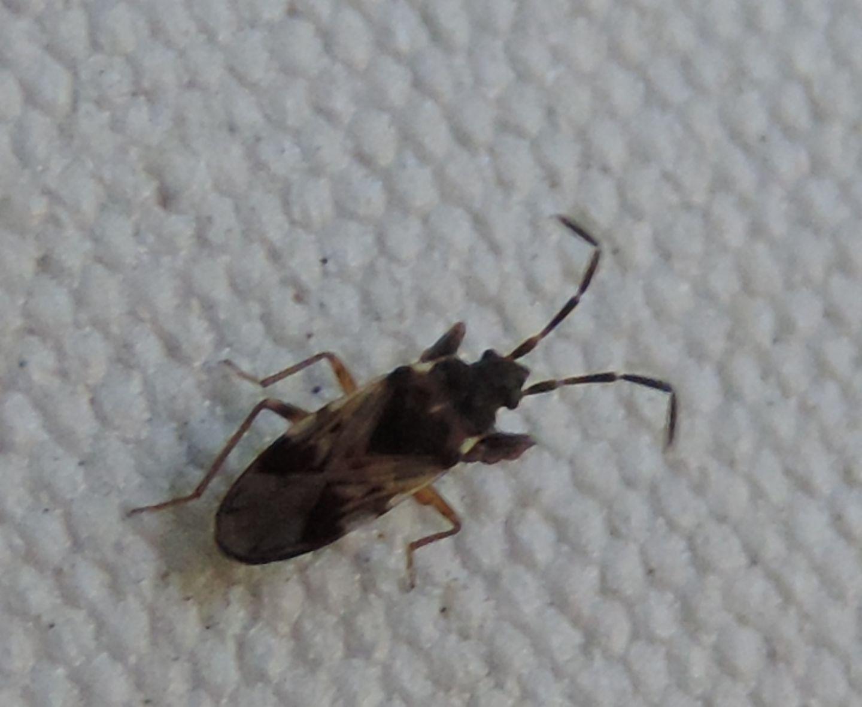 Lygaeidae: Scolopostethus decoratus
