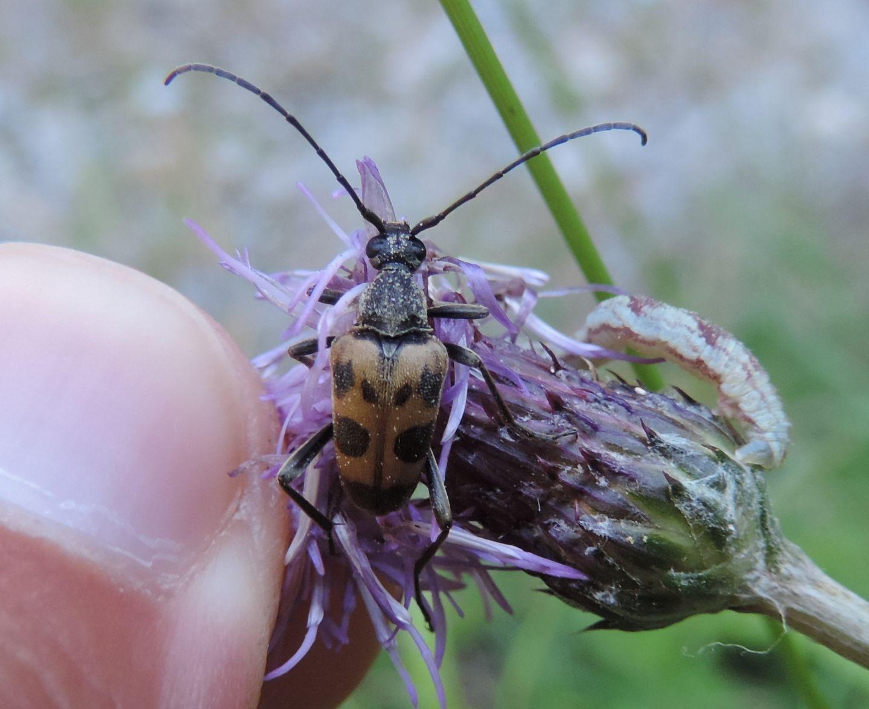 Cerambycidae: Pachytodes cerambyciformis?  Sì !