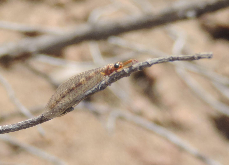 Formicaleone da Pantelleria, forse Distoleon annulatus? - No, Myrmeleon gr. fasciatus