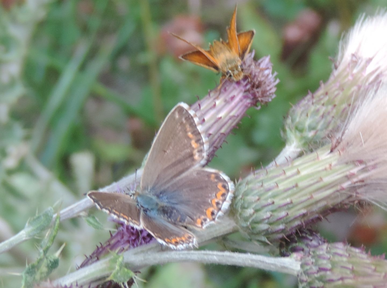 Lycaenidae:  Polyommatus coridon e Polyommatus bellargus, femmine