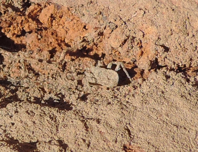 ninfa di Reduviidae,  dal Marocco