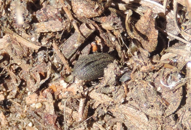 Tenebrionidae: Gonocephalum granulatum nigrum
