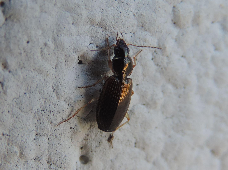 Carabidae strano da identificare: Olisthopus glabricollis