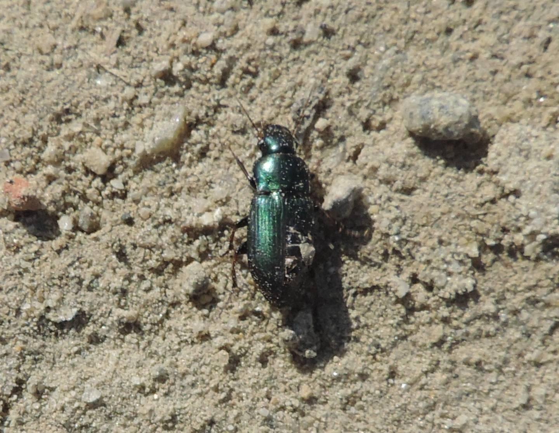 Carabidae da identificare: Harpalus distinguendus