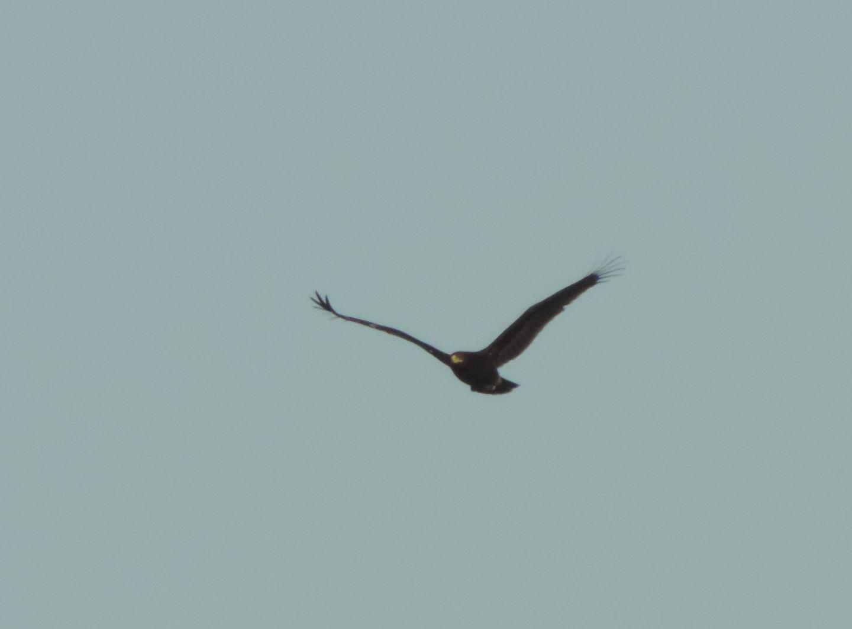 Aquila anatraia maggiore (Clanga clanga)