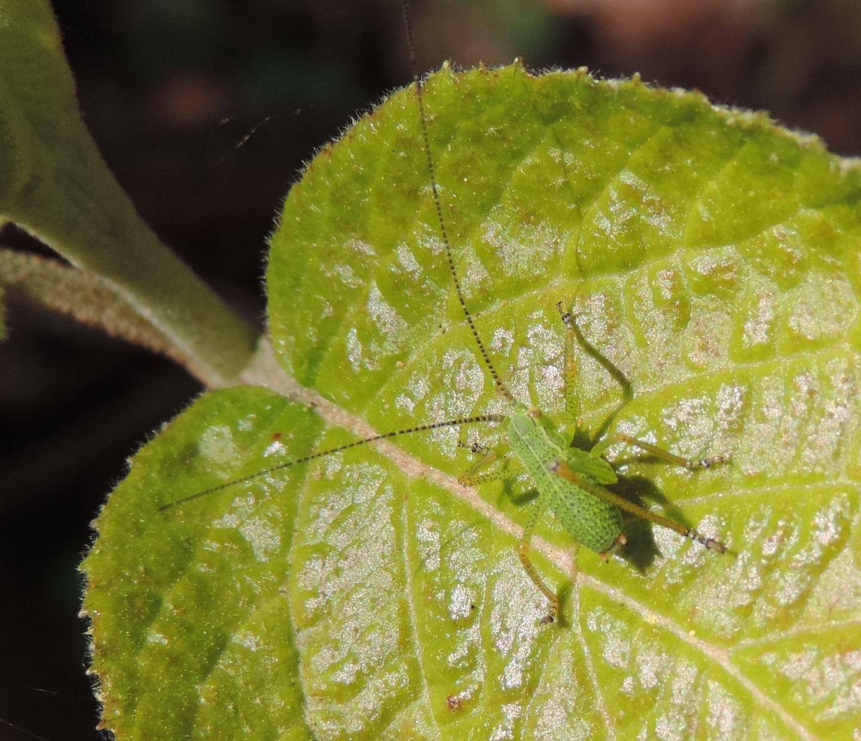 neanide di Leptophyes?.... di Barbitistes alpinus (cfr.)