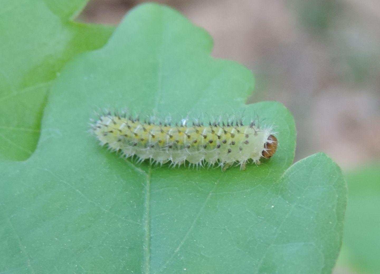 altra larva di Tenthredinidae?