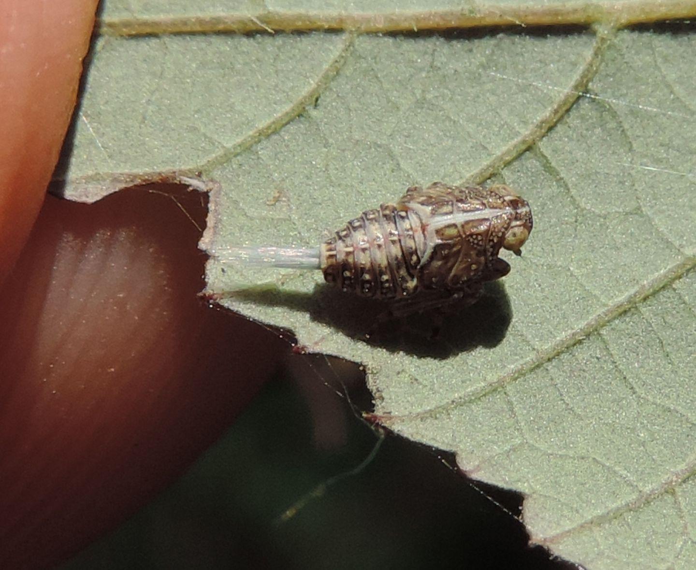 Cixiidae? No, Issidae: cfr. Issus sp.