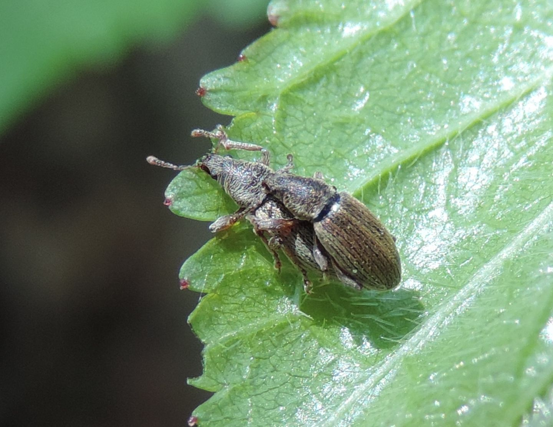 Polydrusus? Sì, Polydrusus (Metallites) marginatus