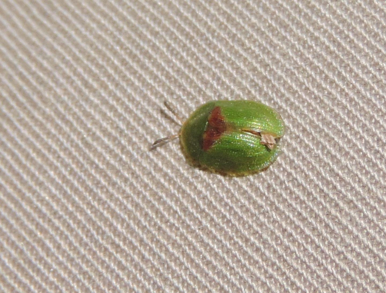 Chrysomelidae: Cassida sanguinolenta? Probabilmente sì.