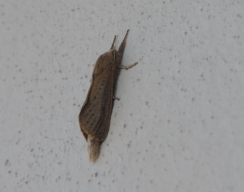 Phragmataecia castaneae (Cossidae)?  Sì !