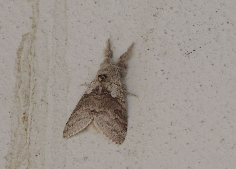 Erebidae Lymantriinae: Calliteara pudibunda? Sì !