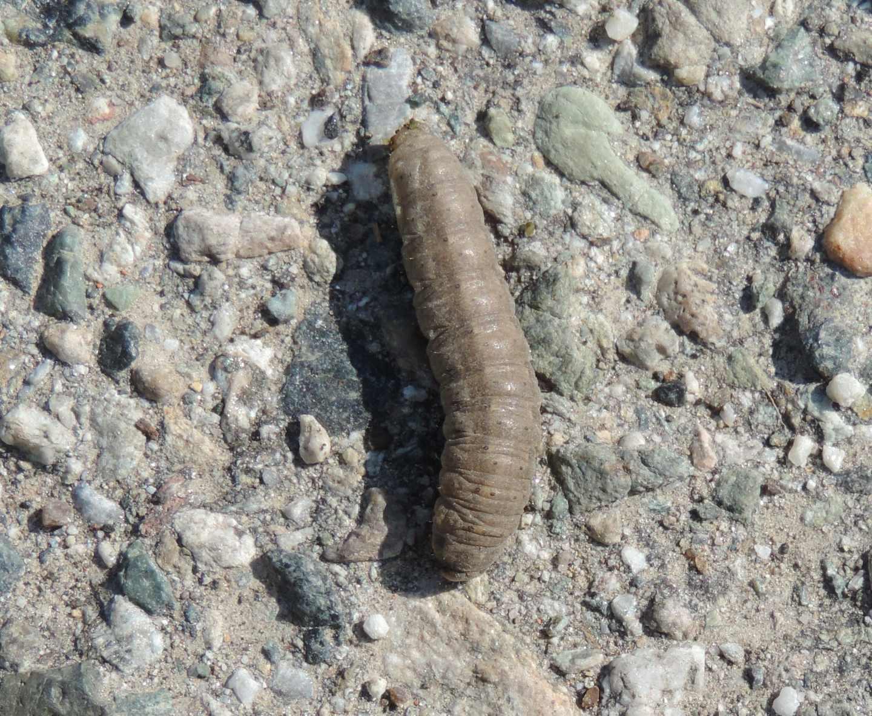 Bruco di Noctuidae: Conistra sp. o Agrotis sp.