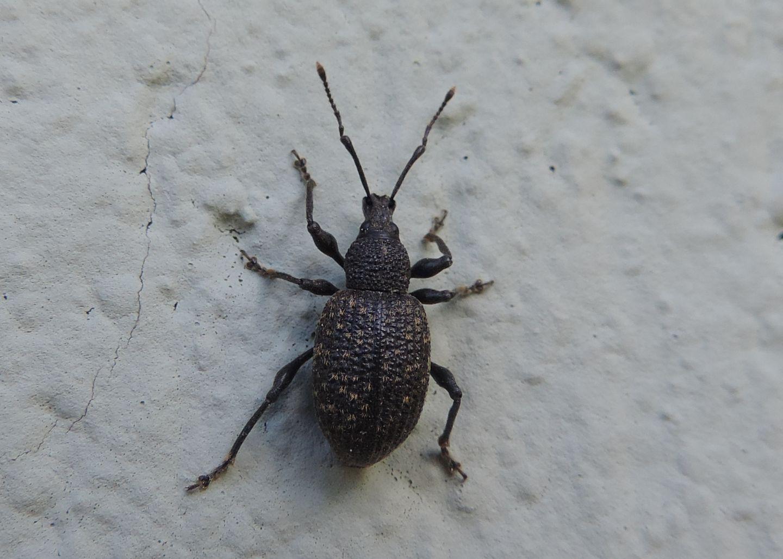 Curculionidae: Otiorhynchus sulcatus?  Sì !
