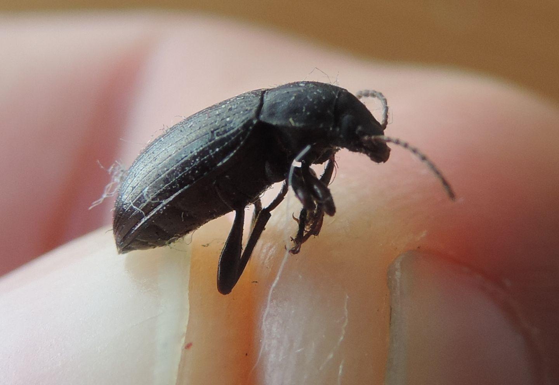 Tenebrionidae: Nalassus dermestoides o N. dryadophilus