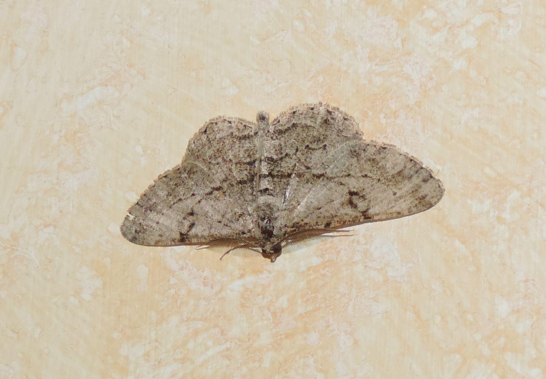 Geometridae da identificare - Peribatodes rhomboidaria