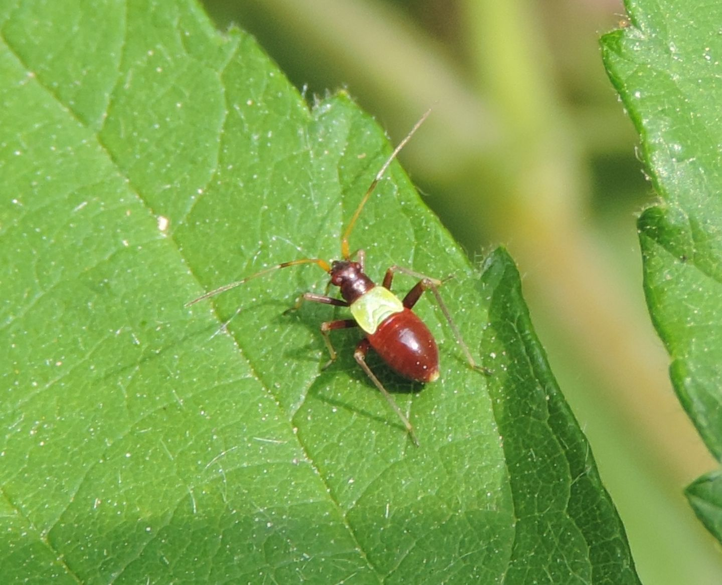 Quale Closterotomus?