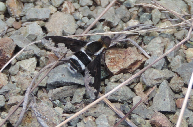 Bombyliidae d''alta quota:  Hemipenthes cfr.  maurus