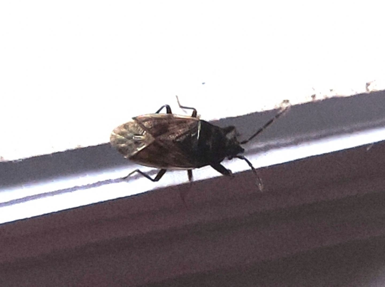 Anthocoridae? No, Lygaeidae: Drymus sp.
