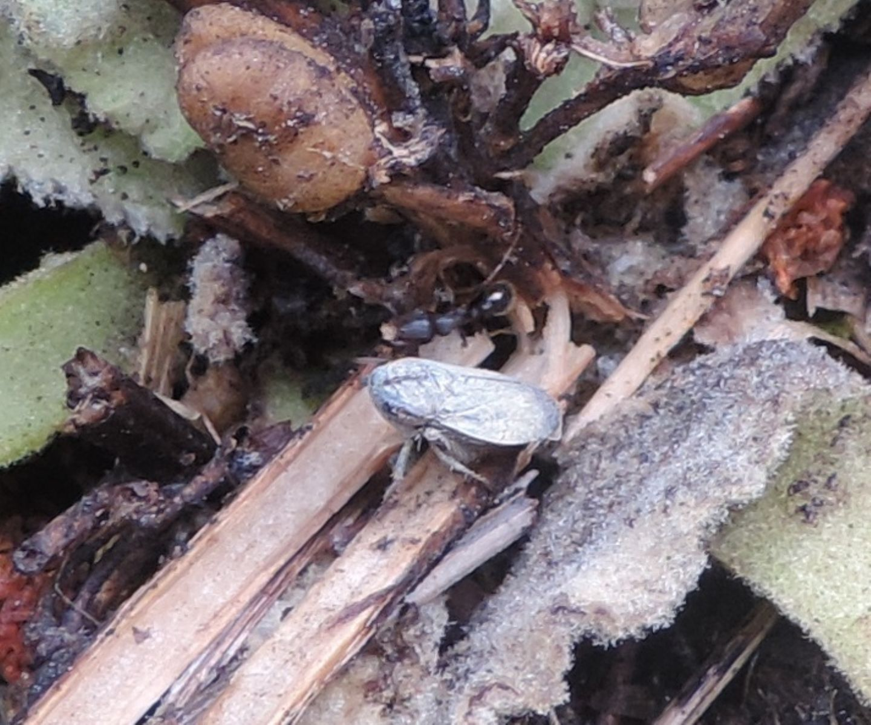 Cicadellidae:  Selenocephalus? No,  Goniagnathus brevis