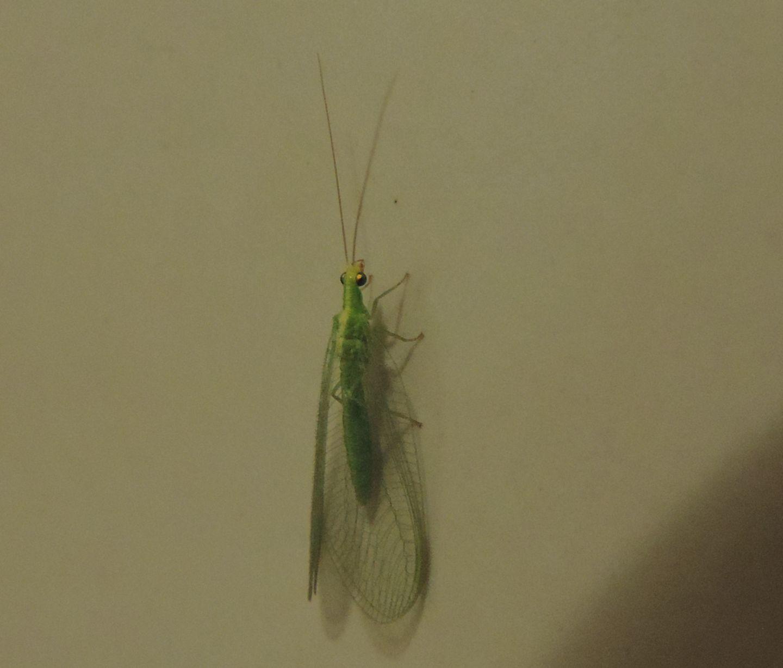 Chrysopidae francese:  Chrysoperla sp.
