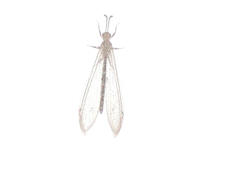 Myrmeleontidae francese:  Neuroleon ochreatus