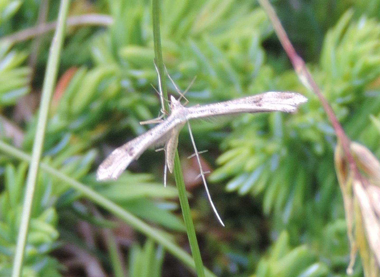 Pterophoridae:  Stenoptilia cfr. coprodactyla