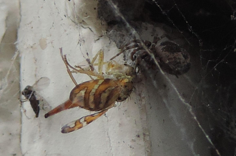 Dyctinidae  che preda dittero Tephritidae-   Etxalar (Navarra - Spagna)