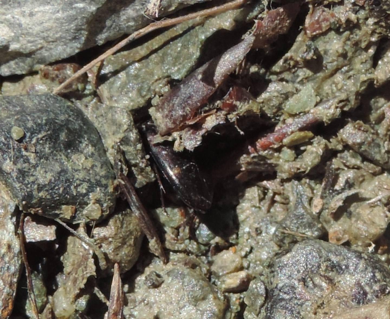 Dytiscidae: Agabus guttatus?... Agabus cfr. didymus (?)
