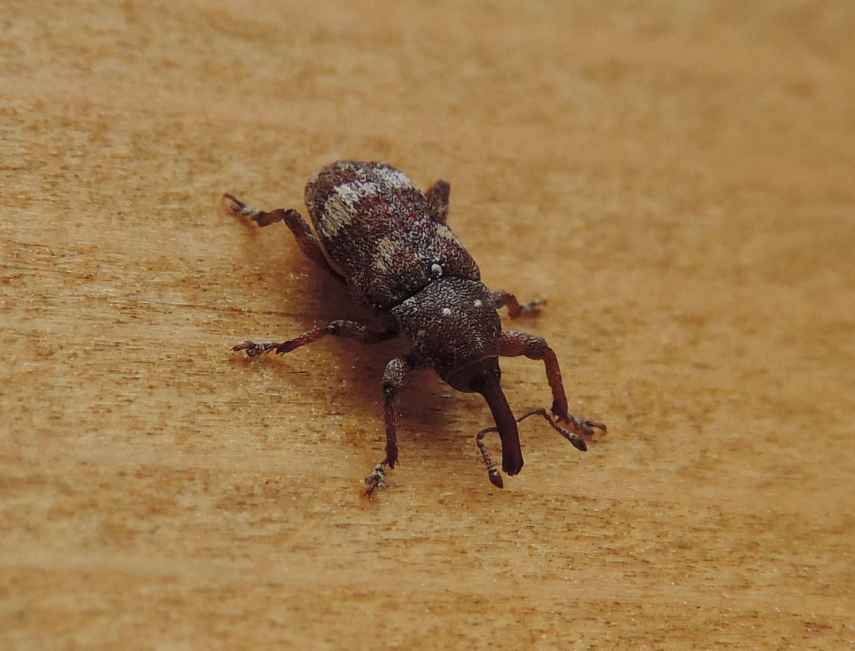 Curculionidae: Pissodes castaneus? Sì, a confronto con P. validirostris