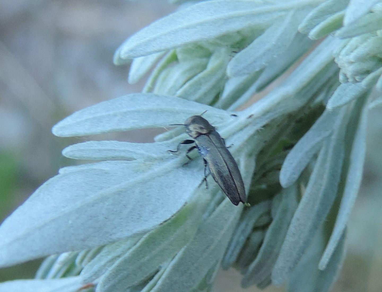 Buprestidae: Meliboeus graminis ?    Sì !