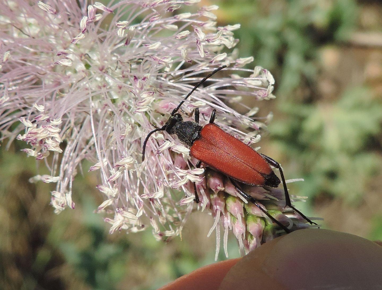 Cerambycidae: Anastrangalia sanguinolenta?  Sì, femmina