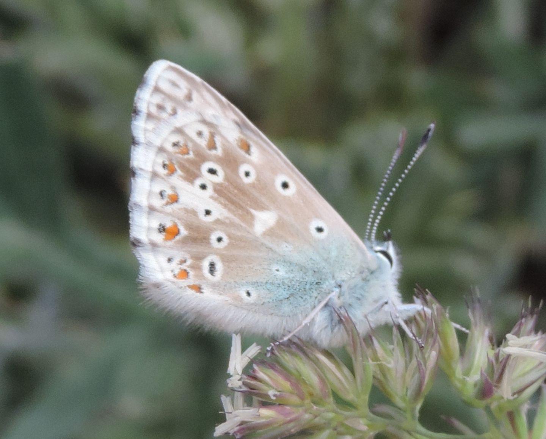 Lycaenidae da identificare:  Polyommatus coridon