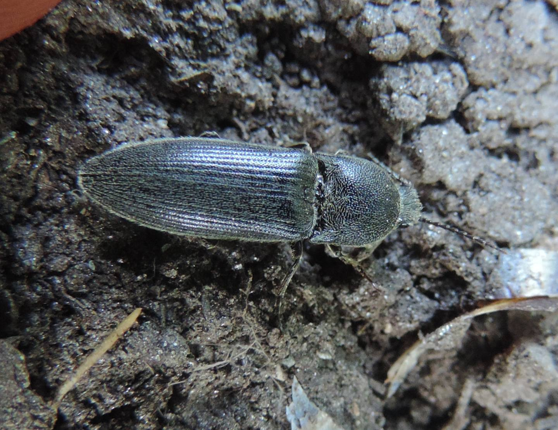 Elateridae: Melanotus sp.? Sì.