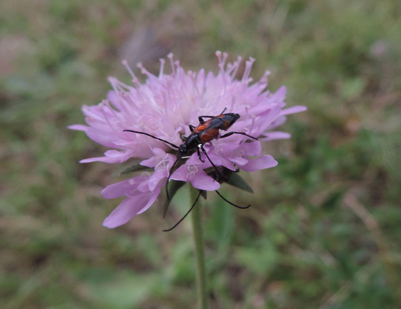 Centaurea?  No, Knautia sp. (Caprifloiaceae)