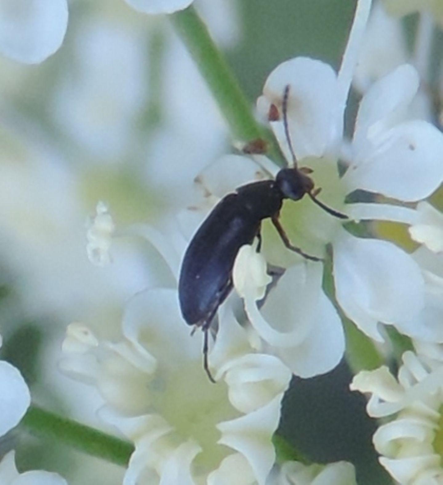 piccolo assembramento: Anaspis frontalis?... Anaspis sp. (Scraptiidae)